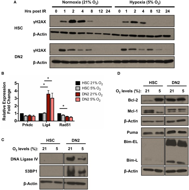 <t>DNA</t> repair and apoptotic proteins expression in normoxic and hypoxic NH-hematopoietic stem cell (HSC) and DN2 thymocytes. (A) Western blot analysis of H2AX (Ser139) phosphorylation in DN2 cells and NH-HSCs cultured in either normoxia (21% O 2 ) or hypoxia (5% O 2 ) at 0–24 h post 4 Gy irradiation. (B) mRNA expression levels of DNA repair factors <t>DNA-PKcs</t> <t>(Prkdc),</t> DNA Ligase IV (Lig4) and Rad51 in NH-HSC and DN2 cells in normoxia (21% O 2 ) and hypoxia (5% O 2 ). All values were normalized against β-actin and expressed relative to the NH-HSC normoxic sample. Representative western blots of (C) DNA damage response factors DNA ligase IV and 53BP1; and (D) pro- and anti-apoptotic proteins in NH-HSC and DN2 cells in normoxia (21% O 2 ) and hypoxia (5% O 2 ). All graphs show the average of three biological replicates. (* p