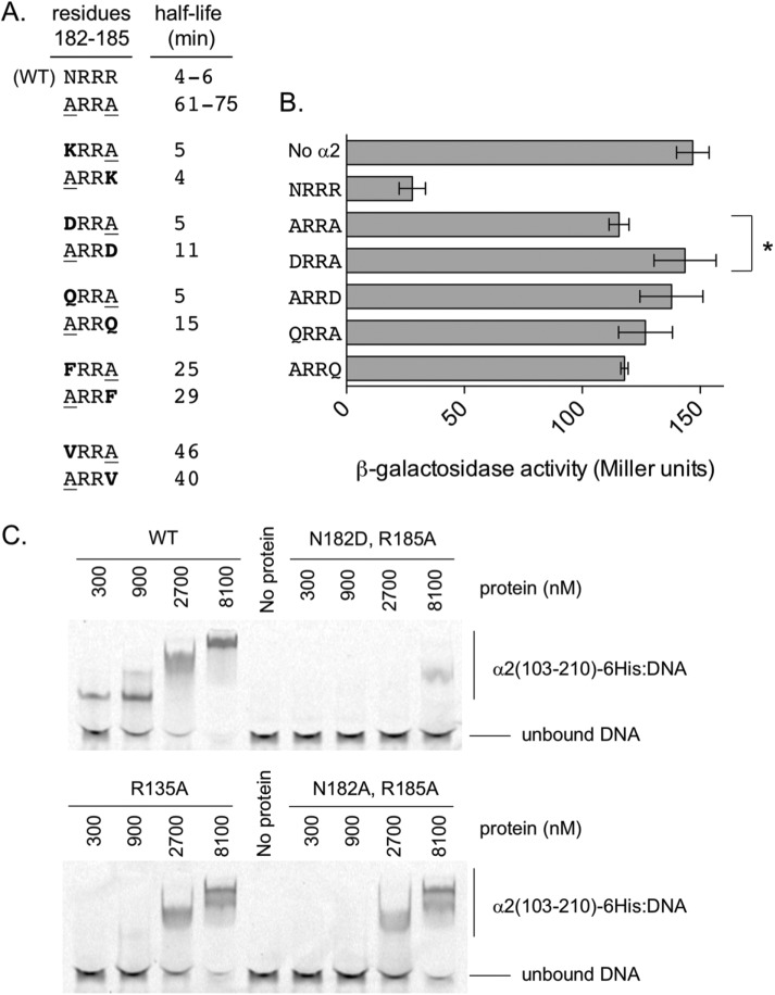 Reduced DNA binding is not the sole cause of stabilization for the α2(N182A, R185A) mutant. (A) Degradation rates, reported as half-life, for the indicated α2 variant following pulse-chase analysis in matα2 Δ cells (MHY1147) bearing plasmid pRS314-α2 or variant. Half-life ranges shown for α2-WT and the α2(N182A, R185A) mutant are from at least three replicates. All other half-life values are from a single degradation assay in which α2-WT was also tested and had a half-life of 4–6 min. Each α2 variant was tested at least twice with similar results. (B) Assay for repression of a-specific gene transcription in MHY481 cells by α2 or the indicated variant, selected from those characterized in degradation assays (A). Error bars denote SD ( N = 3). * p = 0.025. No other α2 variant tested, besides α2(N182D, R185A), yielded statistically poorer repression than the α2(N182A, R185A) variant. (C) Representative EMSA data for the interaction of purified α2 103-210 -6His, or the indicated variants of this protein, with synthetic, Cy5-labeled DNA corresponding to regulatory sequence upstream of BAR1 (an a-specific gene). DNA used was a half operator (a single α2 binding site and single Mcm1 binding site), and no Mcm1 protein was included in assays shown. Two previous experiments, using independent protein preparations, showed comparable DNA binding efficiencies for the different α2 103-210 -6His variants.