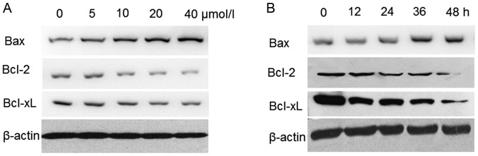 Western blot analysis of Bax, <t>Bcl-2</t> and Bcl-XL protein expression levels in resveratrol-treated HeLa cells. (A) Cells were exposed to 0, 5, 10, 20 and 40 µmol/l of resveratrol for 48 h. (B) Cells were treated with 20 µmol/l resveratrol for 0, 12, 24, 36 and 48 h. All cells were lysed, equal quantities of protein were separated using 12% SDS-PAGE and protein expression was detected by western blotting. Bcl-2, B-cell lymphoma 2; Bax, B-cell lymphoma 2-associated X protein; Bcl-2 XL, B-cell lymphoma 2-extra large.