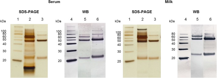 """<t>SDS-PAGE</t> and Western blot analysis of a serum sample (left) and milk sample (right), as indicated. The serum sample was diluted 1:1600 and the milk sample was diluted 1:40. In both cases, the purified standard mink IgG preparation was also included. All samples were electrophoresed under reducing conditions on 12% NuPAGE Bis–Tris gel as described in """" Methods """" section. For Western blotting (WB), the blot was developed with polyclonal goat anti-ferret IgG, followed by alkaline phosphatase-conjugated rabbit anti-goat antibody (see """" Methods """" section). SDS-PAGE: Lane 1: molecular weight marker; Lane 2: serum/milk sample; Lane 3: purified standard mink IgG. WB: Lane 4: molecular weight marker; Lane 5: serum/milk sample; Lane 6: purified standard mink IgG. The positions of the molecular weight marker proteins (20–100 kDa) are indicated to the left of the gels and blots"""