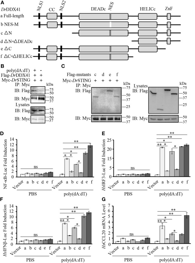 Function of different Danio rerio DDX41 ( Dr DDX41) domains in the signaling pathways. (A) Schematic diagram of full-length and mutated Dr DDX41 fragments, which were inserted into the C-terminus of <t>pCMV-Tag2B.</t> (B,C) Dr DDX41 (B) and its mutants [ (C) , constructed as in panel (A) ] interact with Danio rerio STING ( Dr STING). HEK293T cells were transfected with Flag- Dr DDX41/its mutants and Myc- Dr STING for 24 h. Cell lysates were immunoprecipitated with anti-Myc antibody (Myc) and analyzed by western blot using anti-Flag and anti-Myc antibodies. Expression of the transfected plasmids was analyzed with anti-Flag and anti-Myc antibodies in the whole cell lysates. (D–F) Activation of the nuclear factor-κB (NF-κB)-binding (D) , Hs IRF3 (E) , or Hs IFNβ (F) promoters in HEK293T cells transfected with an NF-κB/ Hs IRF3/ Hs IFNβ-Luc reporter (150 ng/mL) and a renilla luciferase reporter (15 ng/mL) plus different vectors of Dr DDX41 (400 ng/mL) together with pCMV-N-Myc- Dr STING (200 ng/mL) and stimulated with poly(dA:dT) (1 µg/mL) for 6 h. Data are the average luciferase activity ± SD (* p