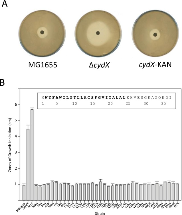 Sensitivity of single amino acid CydX mutants to β-mercaptoethanol. A) Zones of growth inhibition for wild-type, Δ cydX and the cydX +Kan template strain used to make the mutants. B) Zones of growth inhibition for each single mutant strain. The E . coli CydX protein sequence is inset. All experiments were performed in at least triplicate, and the standard error of each experiment is shown.