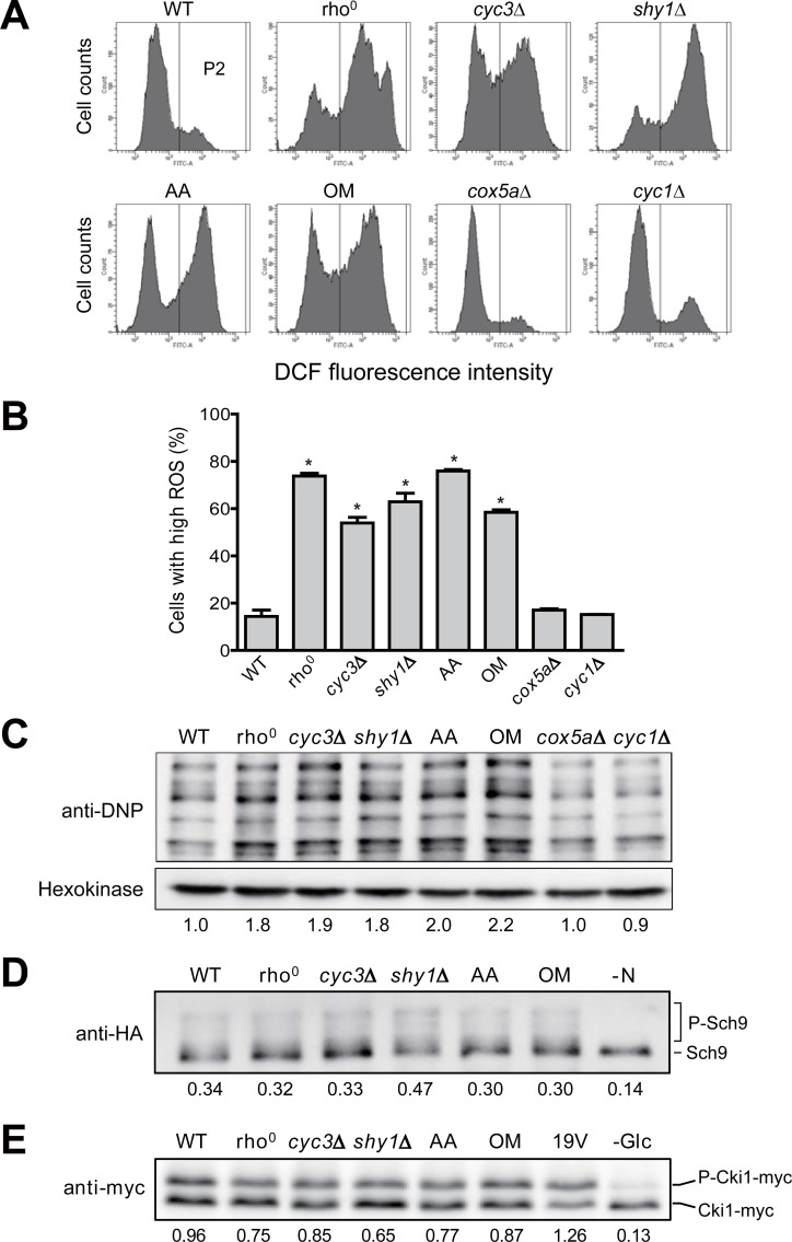 Increased ROS level decreases RLS in respiratory-deficient cells. (A) Intracellular ROS levels in wild-type (WT), rho 0 , cyc3 Δ, shy1 Δ, cox5a Δ, cyc1 Δ, and WT cells treated with 3 μg/ml antimycin A (AA) or 10 μg/ml oligomycin (OM) were detected with H 2 DCFDA. Fluorescence was analyzed using a BD FACS Canto II flow cytometer. (B) Cells with high ROS were calculated as a percentage of cells with higher fluorescence intensity than the maximum fluorescence intensity of control sample without the ROS indicator. Values represent the average of three independent experiments, and error bars indicate the standard deviation. All asterisks indicate P