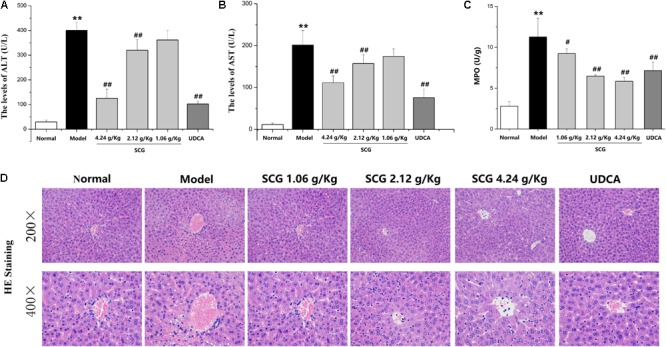 Pharmacological effect of SCG on Con A-induced liver injury in mice.  (A)  The serum level of ALT.  (B)  The serum level of AST.  (C)  The activity of MPO.  (D)  HE-stained liver section for histopathology evaluations and the histological changes. Data were expressed as mean ±  SD  ( n  = 6).  ∗∗ P
