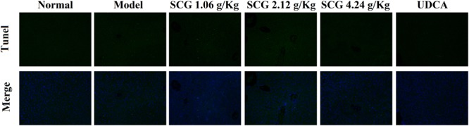 Effect of SCG on hepatocyte apoptosis in Con A-treated mice.