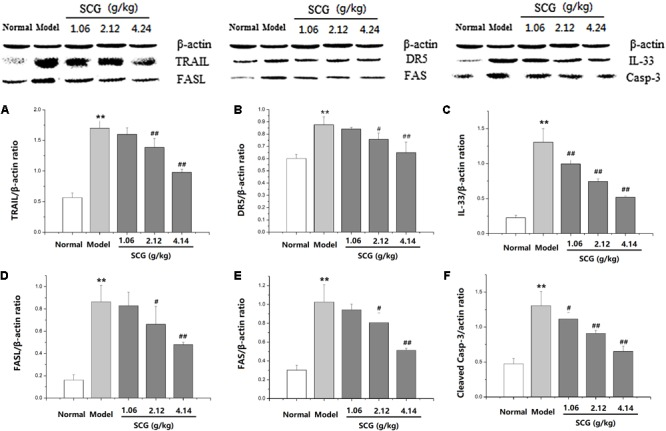 Effect of SCG on protein expression of TRAIL, DR5, FASL, FAS, IL-33, and caspase-3 in Con A-treated mice.  (A)  The expression of TRAIL.  (B)  The expression of DR5.  (C)  The expression of IL-33.  (D)  The expression of FASL.  (E)  The expression of FAS.  (F)  The expression of cleaved caspase-3. Data were expressed as mean ±  SD  ( n  = 3).  ∗∗ P