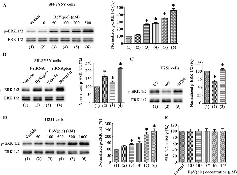 BpV(pic) not only through inhibit PTEN lipid phosphatase activity but also independently of PTEN to up-regulation p-ERK 1/2 level.  a  Western blots analysis of p-ERK 1/2 levels in SH-SY5Y cells treated with bpV(pic) (10–500 nM) on right. Left: quantification analysis of p-ERK 1/2 levels treated with bpV(pic) shows an increased expression of normalized p-ERK 1/2 compare with vehicle group (n = 6 independent cultures, *P