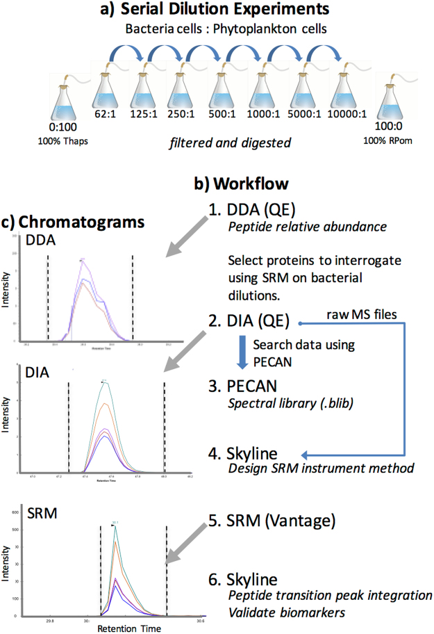 Illustration of experimental setup and workflow for mass spectrometry data acquisition and analysis. ( a ) Serial dilutions were completed using bacterial cells (RPom) as the diluent (see text). Dilution was based on cell counts to achieve cellular rations of Rpom ( R . pomeroyi ) to Thaps ( T . pseudonana ). Each serial dilution was then lysed and proteins were digested prior to MS experiments. ( b ) MS experimental workflow: 1. Data dependent acquisition (DDA) was performed on the Q-Exactive-HF (QE) to assess the limit of detection for a standard, discovery-driven proteomics experiment. 2. Data independent acquisition (DIA) was also completed on the QE to create spectral libraries for selected reaction monitoring (SRM) method development. 3 4. These spectral libraries were analyzed with PECAN and Skyline was used to select optimal transitions and to design an instrument method for SRM analyses. 5. SRM was completed on the TSQ Vantage for 309 bacterial peptide transitions. 6. Peptide transition detection and quantification was performed in Skyline. ( c ) The chromatograms of peptide IPSAVGYQPTLATDMGAMQER (from protein Q5LNP1) were collected using the 3 different MS approaches (DDA, DIA, and SRM) on bacterial dilution 5000:1. Black vertical lines indicate peak integration boundaries, and colored peaks represent the different transitions (i.e. peptide fragments) collected.
