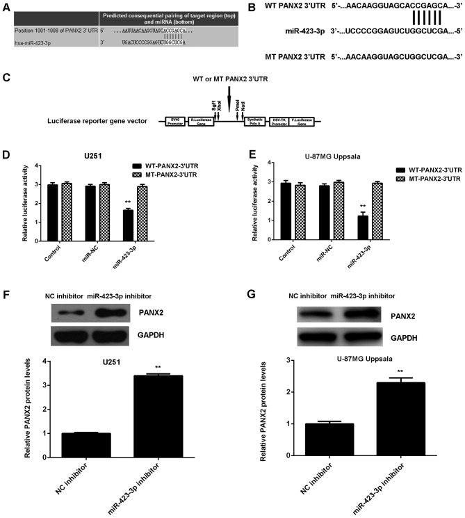 PANX2 was identified as a target of miR-423-3p, and luciferase activity was compared between cells with miR-423-3p, miR-NC and control with PANX2 protein levels compared between cells treated with a miR-423-3p inhibitor and with a NC inhibitor. (A) TargetScan software demonstrated that PANX2 was a putative target of miR-423-3p. (B) WT or MT PANX2 3′UTR was (C) cloned into a luciferase reporter vector. The luciferase activity was significantly decreased in (D) U251 and (E) U87MG Uppsala cells co-transfected with WT-PANX2-3′UTR plasmid and miR-423-3p mimics compared with the control group, which was eliminated during transfection with the MT-PANX2-3′UTR plasmid. Western blotting was used to examine the protein levels of PANX2 in (F) U251 and (G) U87MG Uppsala cells transfected with miR-423-3p inhibitor or NC inhibitor. **P