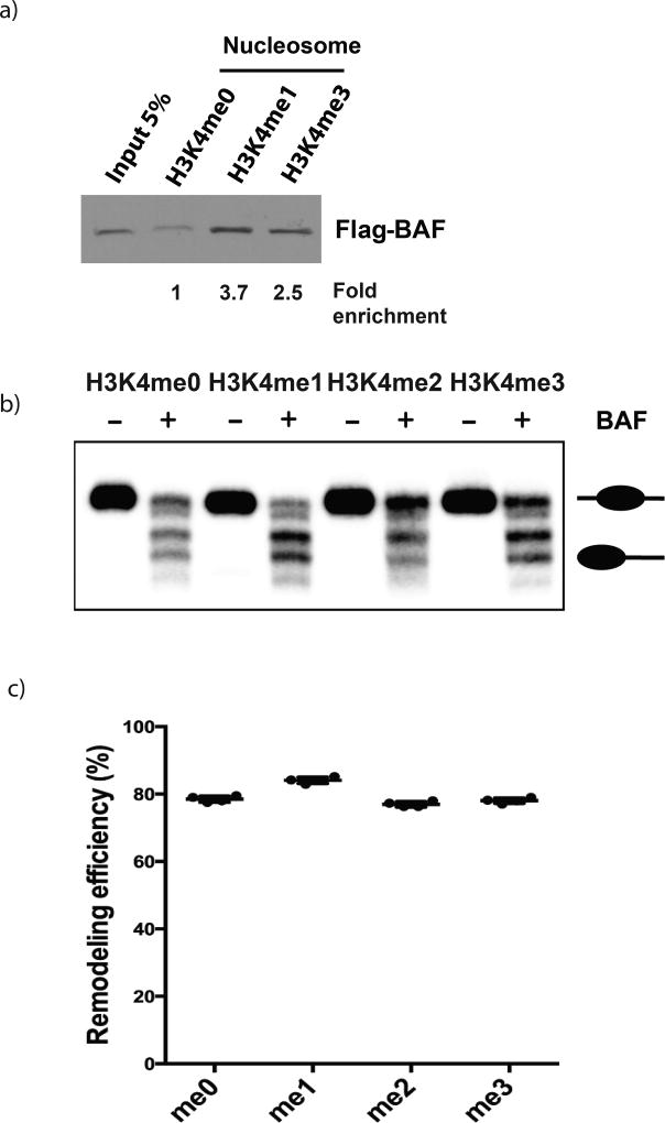 BAF complex preferentially binds and remodels H3K4me1 modified nucleosomes A) Purified Flag-BAF complex binding to H3K4 methylated-nucleosomes, western blotted with anti-FLAG antibody (M2). Pulldown repeated 3 times yielding the same result. B) Polyacrylamide gel showing representative (n=4) in vitro remodeling assay. After incubation with BAF complex, nucleosomes are slid to the end of the 216-bp DNA fragment resulting in a change in mobility in the gel. Top band is un-remodeled nucleosome, and lower four bands are slid nucleosomes with different positions away from 146-bp Widom601 binding sites in the middle. C) Quantification of nucleosome remodeling assays. Error bars, mean ±SD n=4 biological replicates, see Figure S4C . The reduced percentage of the top band is defined as remodeling efficiency.