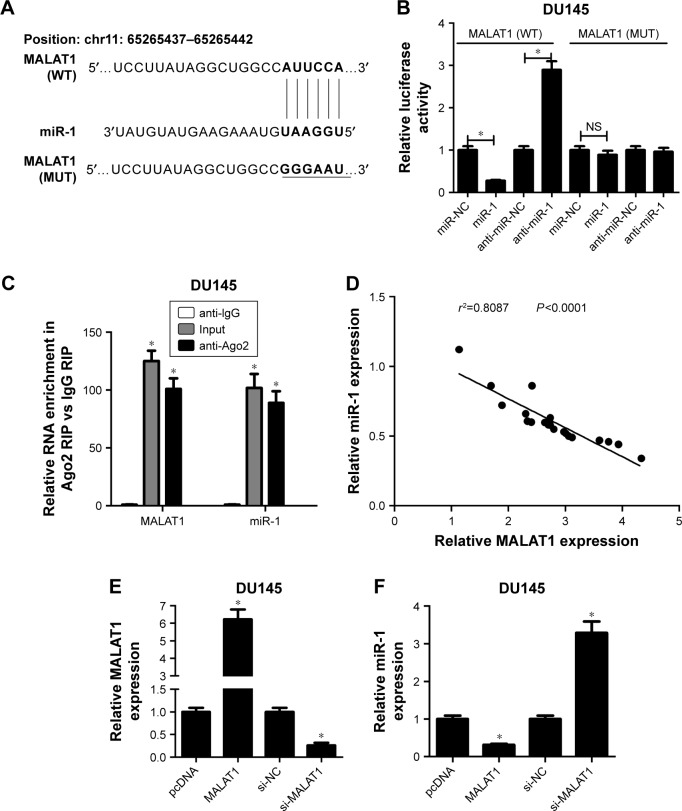 MALAT1 acted as a molecular sponge of miR-1 in PC cells. Notes: ( A ) The predicted binding sites of MALAT1 and miR-1, and the mutant sites in mutant-type MALAT1 reporter. ( B ) DU145 cells were transfected with MALAT1 (WT) or MALAT1 (MUT) reporter and miR-NC, miR-1 mimic, anti-miR-NC, or miR-1 inhibitor. After 48 h, relative luciferase activity was detected using a dual-luciferase reporter assay. ( C ) RIP and RT-qPCR assays were performed using IgG or Ago2 antibody to determine the enrichment degrees of MALAT1 and miR-1 in IgG or Ago2 immunoprecipitates. ( D ) Correlation analysis of MALAT1 and miR-1 in 20 cases of PC tissues. ( E , F ) DU145 cells were transfected with pcDNA3.1 empty vector, pcDNA-MALAT1, si-NC, or si-MALAT1, followed by measurement of MALAT1 and miR-1 expressions at 48 h posttransfection. * P