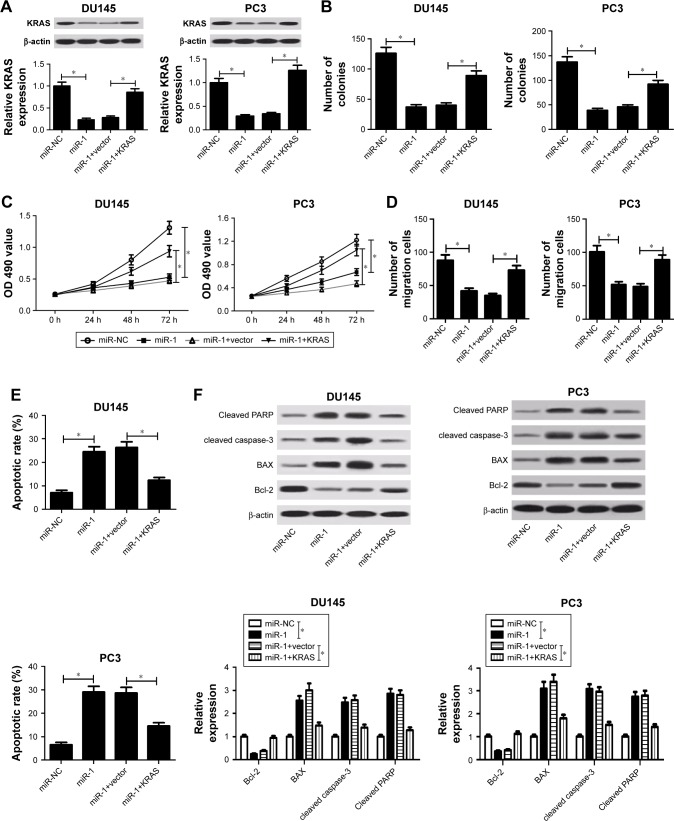KRAS overexpression weakened miR-1-mediated antiproliferative, antimigratory and proapoptotic effects in PC cells. Notes: DU145 and PC3 cells were transfected with miR-NC, miR-1, miR-1+pcDNA3.1 vector, and miR-1+pcDNA-KRAS, followed by the determination of KRAS protein expression ( A ), colony formation numbers ( B ), cell viability ( C ), cell migration capacity ( D ), apoptotic rate ( E ), and protein expressions of cleaved PARP, cleaved caspase-3, BAX, and Bcl-2 ( F ). * P