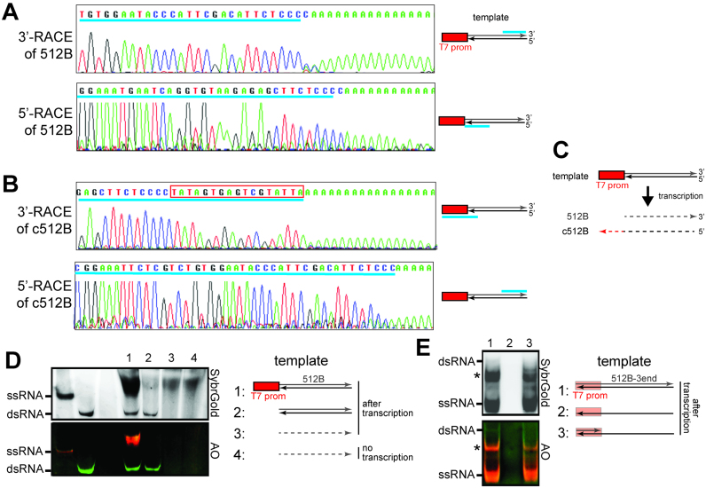 The dsRNA byproduct is formed by sense and antisense RNAs generated in promoter-dependent and -independent manners, respectively. (A and B) Transcriptional start sites and end sites for the intended 512B product ( A ) and its complementary RNA byproduct (c512B) ( B ), as examined by 5′- and 3′-RACE. Transcriptional start and end sites are shown upstream of the poly A tail in the 5′- and 3′-RACE sequences, respectively. Cyan underscores in the sequence chromatograms indicate sequences matching those in the template. The location of the matching sequence in the template is shown in the schematic on the right. The red box in (B) indicates the reverse complement sequence of the T7 promoter. ( C ) Schematic illustrating the results in (A and B). Transcription using a template with a single T7 promoter results in the production of both sense and antisense transcripts, which differ in length by the size of the T7 promoter. Solid and dotted lines indicate DNA and RNA, respectively. ( D ) Native PAGE analysis of T7 transcripts generated using DNA template with a single T7 promoter (1), DNA template without the T7 promoter (2), and gel-purified 512B ssRNA as a template (3). RNA template alone (4) was compared with (3). ( E ) Native PAGE analysis of T7 transcripts generated using fully duplexed DNA template (1), template strand ssDNA alone (512B-3end in Supplementary Table S1 ) (2), and partially duplexed DNA template (generated by annealing 512B-3end with T7promoter_top_strand, Supplementary Table S1 ) (3). * indicates unknown ssRNA byproduct from transcription.