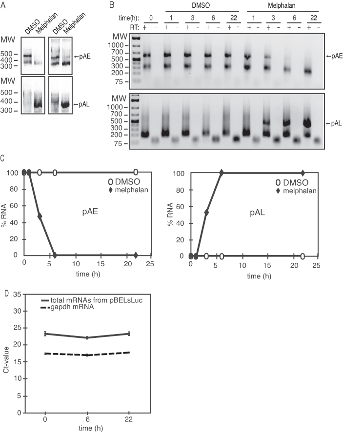 ( A ) 3′-RACE assays on total RNA extracted from C33A2 cells treated with DMSO (D) or 100 µM melphalan (M) for 22 h. The primers specifically detect mRNAs polyadenylated HPV16 pAE or HPV16 pAL. The left and right panels show 3′-RACE with two different primer pairs. ( B ) A 3′-RACE experiment on total RNA extracted from C33A2 cells treated with DMSO or 100 µM melphalan for various indicated time-points. The 3′-RACE reactions were performed in the absence (−) or presence (+) of RT-enzyme. pAE, mRNAs polyadenylated at HPV16 early polyadenylation signal pAE; pAL, mRNAs polyadenylated at HPV16 late polyadenylation signal pAL. ( C ) Quantiations of the pAE levels (left panel) or the pAL levels (right panel) shown in (C). pAE levels at 0 h of melphalan treatment were set as 100% (left panel) and pAL levels at 22 h of melphalan treatment were set as 100% (right panel). ( D ) Ct values of total mRNA levels produced from pBELsLuc or gapdh in C33A2 cells at different time points after addition of melphalan. Location of primers in pBELsLuc are shown in the schematic representation of pBELsLuc in Supplementary Figure S6 .