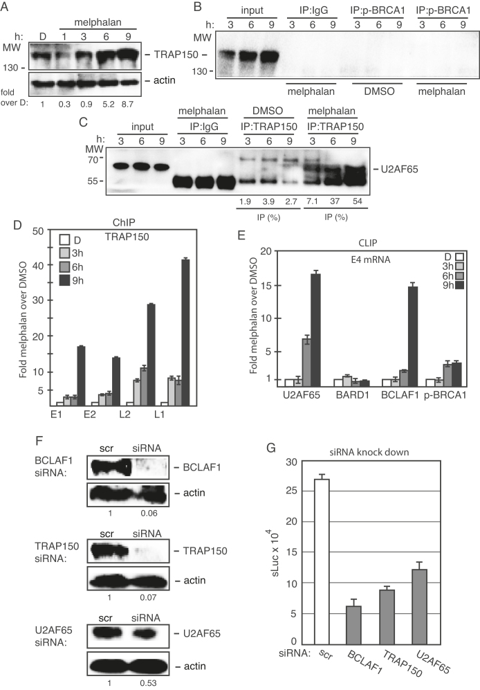( A ) Western blot on TRAP150 in C33A2 cells treated with DMSO (D) or with 100 µM melphalan (M) for the indicated time periods. TRAP150 levels were normalized to actin and TRAP150 over actin in untreated cells was set as 1. ( B and C ) Cell extracts from DMSO or melphalan treated C33A2 cells were subjected to immunoprecipitation with the antibodies to phosphorylated BRCA1 (p-BRCA1) (B) or TRAP150 (C), followed by western blotting with antibodies to TRAP150 or U2AF65, respectively. The hours of DMSO or melphalan incubation of C33A2 cells are indicated on top of the gels. The levels of immunoprecipitated protein and the levels of each protein in the input extracts were quantified. Percent of input protein immunoprecipitated by each antibody in extracts from DMSO or melphalan-treated cells are shown below each gel. ( D ) ChIP analyses on C33A2 cells using antibody to TRAP150 and qPCR of the indicated HPV16 amplicons. Primers and antibodies are listed in Supplementary Tables S3 and 4 , respectively, and the location in the HPV16 genome of the PCR primers is shown in Supplementary Figure S5 . Mean values with standard deviations of the amount of immunoprecipitated DNA compared to DNA from DMSO-treated cells are displayed. The qPCR values obtained for each primer pair with DNA extracted from DMSO-treated C33A2 cells were set to 1 to correct for differences between different ChIP extracts. Chip extracts were prepared from C33A2 cells treated with melphalan for the indicated time-periods. ( E ) C33A2 cells treated with DMSO or melphalan for the indicated time points were UV irradiated and subjected to CLIP assay as detailed in 'Materials and Methods' section. The RNA–protein complexes were immunoprecipitated with antibodies to U2AF65, BARD1, BCLAF1 or phosphorylated BRCA1 (p-BRCA1) and the RNA extracted from the immunoprecipitated complexes were subjected to RT-PCR with primers that detect HPV16 E4 mRNAs spliced from SD880 to SA3358. ( F ) Western blot on extracts from C33A