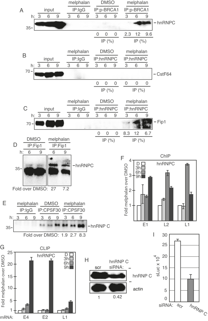 ( A – E ) Cell extracts from DMSO or melphalan-treated C33A2 cells were subjected to immunoprecipitation with the antibodies to phosphorylated BRCA1 (p-BRCA1) (A), hnRNP C (B) (C), Fip1 (D) or CPSF30 (E) followed by western blotting with antibodies to hnRNP C, CstF64 or Fip1 as indicated in the figure. The hours of DMSO or melphalan incubation of C33A2 cells are indicated on top of the gels. The levels of co-immunoprecipitated protein and the levels of each protein in the input extracts were quantified. Percent of input protein co-immunoprecipitated by each antibody in extracts from DMSO or melphalan treated cells are shown below each gel. For hnRNP C co-immunoprecipitations with anti-Fip1 or anti-CPSF30 antibody, the levels of co-immunoprecipiated hnRNP C in melphalan treated cells were divided by the levels of hnRNP C co-immunoprecipitated with anti Fip1 antibody or anti-CPSF30 in DMSO treated cells (D and E). ( F ) ChIP assays on DNA from C33A2 cells using antibody to hnRNP C and qPCR of the indicated HPV16 amplicons. Mean values with standard deviations of the amount of immunoprecipitated DNA compared to DNA from DMSO-treated cells are displayed. The qPCR values obtained for each primer pair with DNA extracted from DMSO-treated C33A2 cells were set to 1 to correct for differences between different ChIP extracts. Chip extracts were prepared from C33A2 cells treated with melphalan for the indicated time-periods. ( G ) C33A2 cells treated with DMSO or melphalan for the indicated time points were UV irradiated and subjected to CLIP assay as detailed in 'Materials and Methods' section. The RNA–protein complexes were immunoprecipitated with antibody to hnRNP C1 and the RNA extracted from the immunoprecipitated complexes was subjected to RT-PCR with primers that detect HPV16 E4 mRNAs spliced from SD880 to SA3358. ( H ) Western blot on extracts from C33A2 cells transfected with scrambled siRNAs (scr) or siRNAs to hnRNP C. hnRNP C levels were quantified in extracts prepa