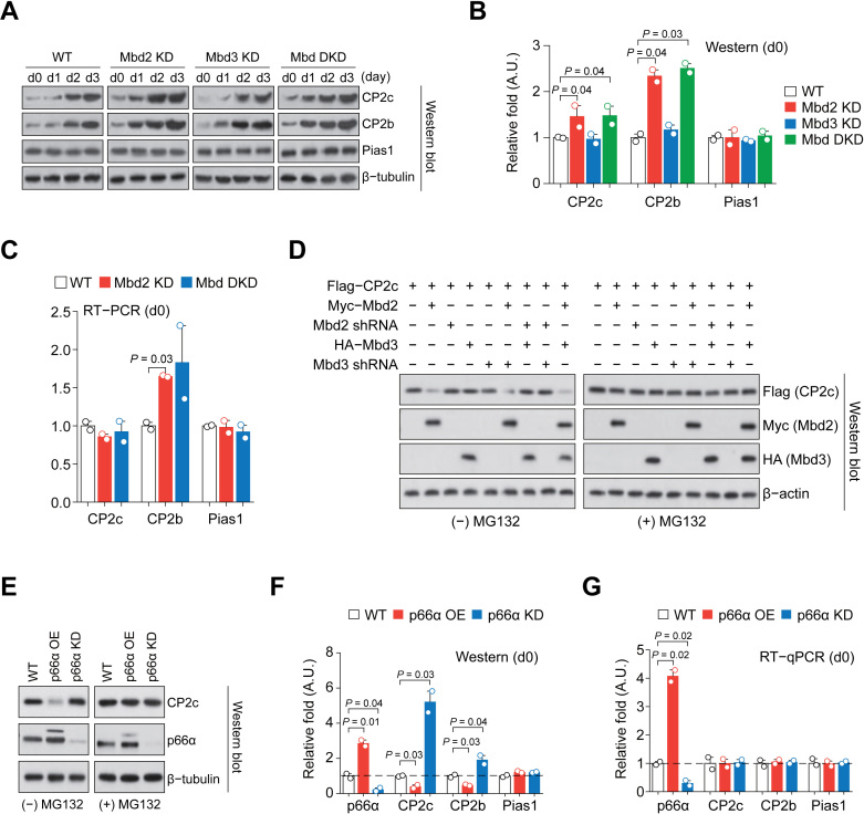 p66α- and Mbd2-dependent degradation of CP2c and CP2b. ( A ) Immunoblot analysis of the CBP proteins expression in differentiating Mbd2 KD, Mbd3 KD and Mbd DKD MEL cells in vitro . ( B ) Quantification of the CBP proteins expression in uninduced cells in (A). n = 2. ( C ) RT-PCR analysis of the expression of CBP mRNAs in the uninduced Mbd2 KD and DKD cells. Values of uninduced cells shown in Supplementary Figure S5C are highlighted. n = 2. ( D ) Immunoblot analysis of CP2c protein expression in 293T cells transiently transfected of the Mbd2, Mbd3, shMbd2 and shMbd3 expression vectors, in combination, in the presence or absence of proteasome inhibitor MG132. ( E ) Immunoblot analysis of the CP2c expression in undifferentiated p66α OE and KD MEL cells in the presence or absence of MG132. (F and G) Immunoblot ( F ) and RT-qPCR ( G ) analyses of the CP2c, CP2b, and Pias1 expression in uninduced p66α OE and KD MEL cells. Values in uninduced cells shown in Supplementary Figures S5F and S5H are highlighted. n = 2.