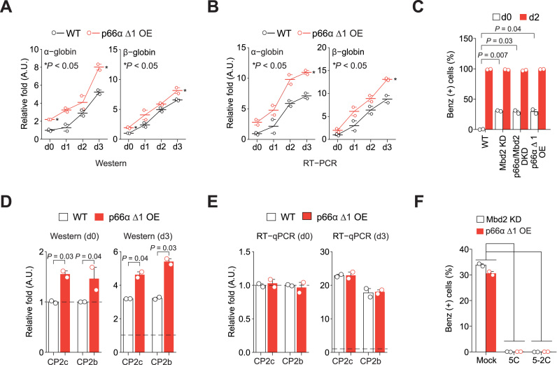 Disruption of the Mbd2-p66α interplay in Mbd2-NuRD shows phenotypes analogous to Mbd2 downregulation. Quantification of the α- and β-globin expression in p66α Δ1 OE MEL cells by Immunoblot ( A ) and RT-PCR ( B ) analyses. n = 2. ( C ) Functional hemoglobin synthesis analysis by benzidine staining. n = 2. Quantification of the CP2c and CP2b expression in the p66α Δ1 OE MEL cells by Immunoblot ( D ) and RT-qPCR ( E ) analyses. D and E are values of the uninduced (d0) and induced (d3) states shown in Supplementary Figure S8B and C , respectively. n = 2. ( F ) Functional hemoglobin synthesis analysis by benzidine staining in undifferentiated Mbd2 KD and p66α Δ1 OE MEL cells, in the presence or absence of the peptides inhibiting the CP2c's DNA binding activity (5C and 5-2C). n = 2. The corresponding immunoblots of CBP proteins are shown in Supplementary Figure S8D .