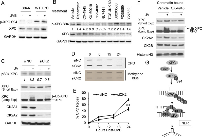 Role of CK2 kinase in XPC phosphorylation and CPD repair. ( A ) Immunoblot analysis of XPC phosphorylated at S94 (p-XPC S94), total XPC and GAPDH 30 min after UVB exposure (20 mJ/cm 2 ) in XPC Null cells expressing pLenti-XPC WT or mutant S94A. ( B ) HaCaT cells were treated with vehicle, rapamycin (25 nM), CX-4945 (5 μM), <t>KU-60019</t> (1 μM), LY294002 (10 μM), NU7441 (1 μM), TCS JNK 60 (10 μM), SB203580 (10 μM), PD98059 (20 μM) or Y27632 (10 μM) for 1 h. The levels of XPC phosphorylated at S94 (p-XPC S94), total XPC and GAPDH were analyzed by immunoblot assay. ( C ) Immunoblot analysis of XPC phosphorylated at S94 (p-XPC S94), total XPC, CK2A1, CK2A2 and GAPDH 30 min after UVB exposure (20 mJ/cm 2 ) in HaCaT cells transfected with siRNA targeting CK2A1 and CK2A2 (siCK2) or non-targeting control siRNA (siNC). ( D ) Slot blot analysis of the levels of CPD at the indicated times post-UVB (20 mJ/cm 2 ) in HaCaT cells transfected with siRNA targeting CK2A1 and CK2A2 (siCK2) or non-targeting control siRNA (siNC). Methylene blue staining was used for loading control. ( E ) Quantification of percentage (%) of CPD repair from (D). ** P
