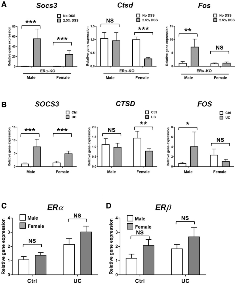 Colon tissue gene expression of Socs3 , Ctsd , and Fos in DSS-treated ERα-KO mice and SOCS3 , CTSD , FOS , ERα , and ERβ in UC patients. Complementary DNA was prepared from ( A ) distal colon tissue from DSS-treated mice or non–DSS-treated controls or ( B–D ) colonic biopsy samples from UC patients or non–inflammatory bowel disease controls. Quantitative polymerase chain reaction was performed for ( A and B ) Socs3 , Ctsd , and Fos , ( C ) ERα , and ( D ) ERβ . Data are represented as the means ± SEM of n = 5–17 samples/group. * P ≤ .05, ** P ≤ .01, and *** P ≤ .001. Ctrl, control.