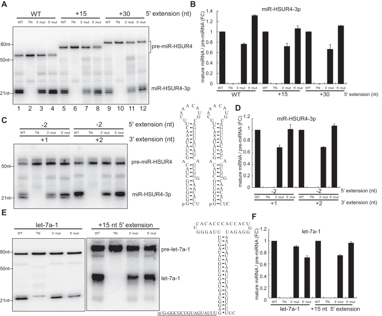 Processing of 5′-extended pre-miRNAs is independent of Dicer 5′ pocket. ( A ) In vitro transcribed 5′-extended pre-miR-HSUR4s were incubated with four different human Dicers purified by Flag IP. [WT: wild type Dicer; TN: transdominant negative mutation Dicer; 3′ mut: 3′ pocket mutation Dicer (Y926A); 5′ mut: 5′ pocket mutation Dicer (R778A/R780A/H982A)]. Northern blots were performed using probes targeting miR-HSUR4-3p. ( B ) Quantitations of relative mature miRNA levels (mature miRNA/pre-miRNA) compared to WT Dicer processing in (A) (mean ± standard deviation) were derived from three independent experiments. FC: fold change. ( C ) In vitro transcribed 5′-monophosphate pre-miR-HSUR4s without 5′ extension (–2 nt) but with 1 nt or 2 nt 3′ overhang were incubated with four different human Dicers purified by Flag IP. Schematics of pre-miR-HSUR4s with 1 nt or 2 nt 3′ overhang are given. ( D ) Quantitations of relative mature miRNA levels compared to WT Dicer processing in (C) were derived from three independent experiments. ( E ) In vitro transcribed 5′-monophosphate pre-let-7a-1 and m 7 G-capped +15 nt extended pre-let-7a-1 were incubated with four different human Dicers purified by Flag IP. Northern blots were performed using probes targeting let-7a-1 (5p). Schematic of +15 nt extended pre-let-7a-1 is shown, with extended sequence underlined. ( F ) Quantitations of relative mature miRNA levels compared to WT Dicer processing in (E) were derived from three independent experiments.