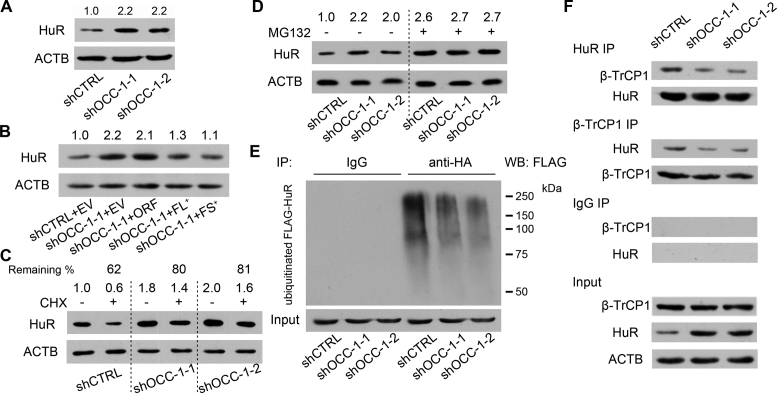 OCC-1 promotes the ubiquitination and degradation of HuR by enhancing its binding to the ubiquitin E3 ligase β-TrCP1. ( A ) Western blot analysis showed that knockdown of OCC-1 led to the increase of HuR in Caco-2 cells. ( B ) Overxpression of OCC-1 FL + and FS + RNA but not the ORF reduced HuR level in shOCC-1-1 Caco-2 cells. EV, empty vector. ( C ) Cells were treated with CHX to inhibit protein synthesis and the remaining of HuR was measured by western blot in Caco-2 cells after OCC-1 knockdown. The percent of remaining HuR in the CHX treated cells (+) relative to the control cells treated with DMSO (–) was indicated. ( D ) Western blot analysis of HuR in the OCC-1 knockdown cells treated with MG132 (+) or DMSO (–). The density of protein bands was measured by Image J software and the relative level of HuR protein was calculated after normalizing to ACTB protein. ( E ) The OCC-1 knockdown cells were co-transfected with a plasmid expressing a HA-tagged ubiquitin (HA-Ub) and a plasmid expressing a FLAG-tagged HuR (FLAG-HuR). After MG132 treatment, cell lysates were prepared and subjected to IP using an anti-HA antibody. The ubiquitinated FLAG-HuR was further detected by western blot using an anti-FLAG antibody. ( F ) Co-IP experiments showed that the interaction between HuR and the ubiquitin E3 ligase β-TrCP1 was attenuated after OCC-1 knockdown in Caco-2 cells.