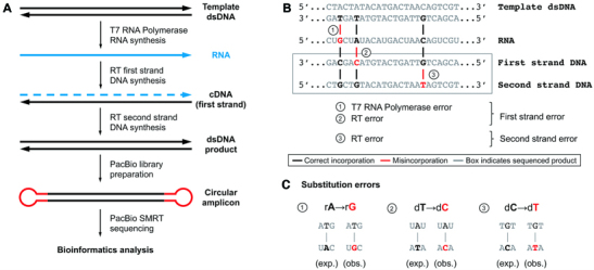 Measuring combined transcription and reverse transcription fidelity with PacBio sequencing. ( A ) Workflow. DNA templates are transcribed by T7 RNA polymerase with unmodified and modified NTPs to produce RNA. RNA is replicated by a reverse transcriptase to produce cDNA, then the first strand is replicated by the same reverse transcriptase to produce double-stranded DNA, which is then prepared for sequencing by ligating SMRTbell adaptors. ( B ) Identical first strand errors can arise by misincorporation from either the RNA polymerase or the reverse transcriptase (error types 1 and 2 in the figure, respectively). Only first strand errors confirmed in the second strand are counted. Second strand errors produce a mismatch between the first and second strand and represent misincorporation by the reverse transcriptase on DNA templates (error type 3 in the figure). ( C ) Substitution errors arising from misincorporation events. The first base is the expected, while the second is the observed base.