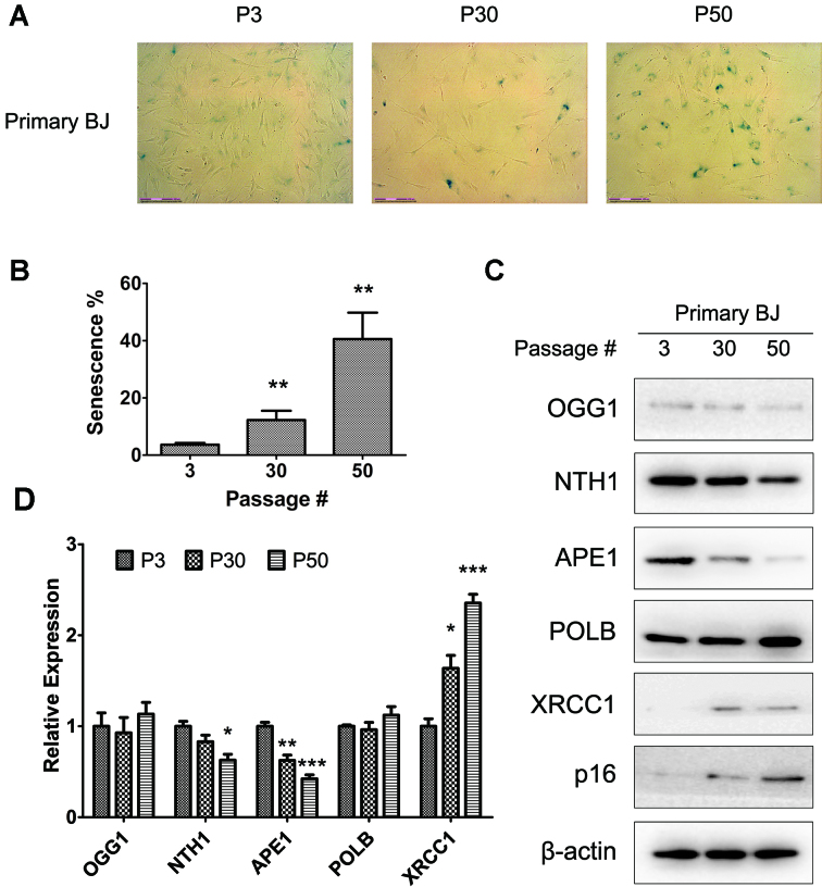 Senescence results in altered expression of BER proteins in primary human BJ fibroblasts. ( A ) Representative images of SA-β-gal staining at P3, P30 and P50 in primary BJ fibroblasts. ( B ) Quantitation of the percentage of cells that has undergone senescence (SA-β-gal positive) at the indicated passage number. ( C ) Expression of several BER proteins at P3, P30 and P50 as determined by western blot analysis. Increased p16 INK4a expression is consistent with a senescent phenotype. ( D ) Quantitation of expression of the indicated BER protein (after normalization to the β-actin loading control) relative to the P3 group. In panels B and D, results are averages and standard deviations of three biological replicates. * P -value