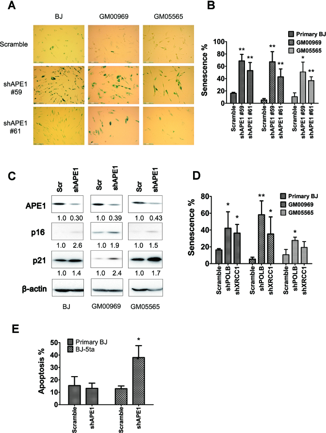 APE1 knock-down results in increased cellular senescence in hTERT-negative fibroblasts. ( A ) Representative images of SA-β-gal staining in BJ (at P2–5), GM05565 (at P3–8) and GM00969 (at P10–15) fibroblasts that were infected at the indicated passage number with an APE1-specific shRNA [TRCN0000007959 (#59) or TRCN0000007961 (#61)] or the scramble control. Sample analysis was conducted 48–72 hr post-infection. ( B ) Quantitation of the percentage of cells that have undergone senescence in early passage fibroblasts following APE1 knock-down or scramble control. ( C ) The expression of APE1, p16 INK4a and p21 WAF1 in the indicated scramble control (Scr) or APE1-knock-down (shAPE1) cell population, as determined by western blot analysis. Following normalization of the indicated protein to β-actin, the relative expression level (specified below each) was obtained by comparing knock-down to its corresponding scramble control. ( D ) Quantitation of the percentage of cells that have undergone senescence (SA-β-gal) in early passage primary BJ, GM05565 and GM00969 fibroblasts upon shRNA knock-down of POLB or XRCC1. ( E ) Quantitation of the percentage of cells that have undergone apoptosis in hTERT-negative (primary BJ) or hTERT-positive (BJ-5ta) cells following APE1 knock-down (shRNA, #59), in comparison to the scramble control. Results are averages and standard deviations of three biological replicates (panel B and D) or two biological replicates with three technical replicates each (panel E). * P -value