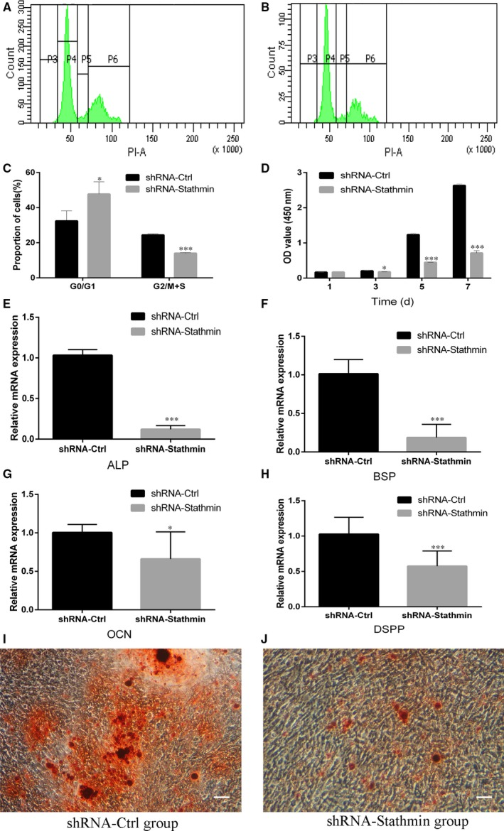 Suppression of <t>Stathmin</t> in hDPSCs inhibited proliferation and the expression of mineralization‐related genes in hDPSCs. A‐C, Cell cycle distribution for the <t>shRNA‐Ctrl</t> group (A) and the shRNA‐Stathmin group (B) and statistical analysis (C). D, CCK‐8 value of shRNA‐Stathmin hDPSCs and shRNA‐Ctrl hDPSCs at days 1, 3, 5 and 7. Mineralization‐related genes (E, ALP; F, BSP; G, OCN; H, DSPP) were expressed at much lower levels in the Stathmin knockdown group than in the shRNA‐Ctrl group cultured in mineralization medium for 3 weeks. I and J, Alizarin red S staining showed that Stathmin suppression significantly inhibited mineral formation by hDPSCs (scale bar = 100 μm). Each experiment was repeated in triplicate. (* P