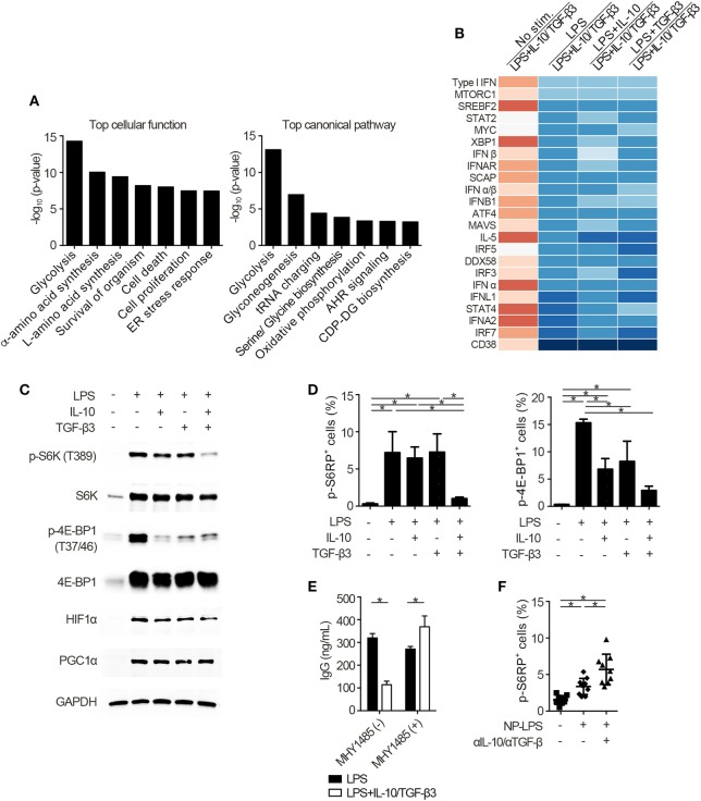 Cytokine synergy of TGF-β3 and interleukin-10 (IL-10) inhibits mammalian target of rapamycin complex 1 (mTORC1) activity in lipopolysaccharide (LPS)-stimulated B cells. (A) The seven most related cellular functions and canonical pathways in genes of cluster 6 in Figure 4 A were analyzed by in Ingenuity Pathway Analysis (IPA) software. (B) Heatmap visualization of activation z -score ratios of LPS-stimulated B cells to LPS-stimulated B cells with IL-10/TGF-β3 less than −3.1 calculated by the upstream regulator analysis in IPA software. All of the 1,895 differentially expressed genes depicted in Figure 4 A were utilized in this analysis. (C) Representative western blot analyses of total and phosphorylated protein levels in LPS-stimulated B cells treated either with TGF-β3 and/or IL-10 for 24–48 h. (D) Flow cytometric (FCM) quantification of phosphorylated S6RP at Ser235/236 and 4E-BP1 at Thr37/46 in LPS-stimulated B cells either with or without TGF-β3 and/or IL-10 for 72 h ( n = 3). (E) Total IgG antibody titers in the supernatants of LPS-stimulated B cells with or without TGF-β3 and IL-10 in the presence or absence of 2 µM MHY1485 for 7 days quantified by ELISA ( n = 3). Data are representative of more than two independent experiments in (C–E) . (F) FCM quantification of phosphorylated S6RP at Ser235/236 in splenic B220 + cells from B6 mice treated as in Figure 2 E ( n = 9–10). P