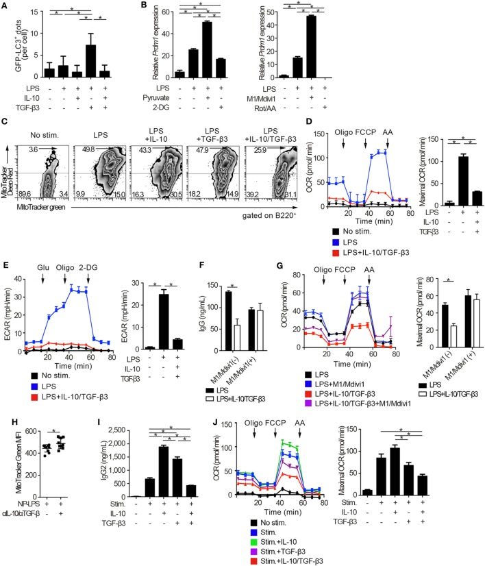 Cytokine synergy of TGF-β3 and interleukin-10 (IL-10) regulates metabolism in toll-like receptor-stimulated B cells. (A) Splenic B cells from LC3-green fluorescent protein (GFP) mice were stimulated by lipopolysaccharides (LPS) either with TGF-β3 and/or IL-10 for 3 days. GFP − LC3 + spots captured by fluorescence microscopy were counted manually ( n = 20). (B) Relative Prdm1 expression in LPS-stimulated B cells either with 1 mM 2-DG, 10 mM sodium pyruvate, 0.5 µM rotenone (Rot)/antimycin A (AA), or 10 µM M1/Mdivi1 analyzed by qRT-PCR ( n = 3). (C) Flow cytometric analysis of MitoTracker-stained, LPS-stimulated B cells with each cytokine cultured for 3 days. (D,E) Oxygen consumption rate (OCR) (D) and ECAR (E) of LPS-stimulated B cells with each cytokine measured by extracellular flux analyzer ( n = 3). (F,G) IgG antibody titers quantified by ELISA (F) and OCR measured by extracellular analyzer (G) of LPS-stimulated B cells with or without TGF-β3 and IL-10 in the presence or absence of 10 µM M1/Mdivi1 ( n = 3). (H) Mean fluorescence intensity (MFI) of MitoTracker Green in splenic B220 + cells from B6 mice treated as in Figure 2 E ( n = 9–10). (I) Human B cells were stimulated by 2.5 µg/ml CpG-ODN, 1,000 U/ml IL-2, 10 ng/ml IL-6, and 0.5 µg/ml anti-CD40 with 10 pg/ml TGF-β3, 10 ng/ml IL-10, and/or 1 µg/ml anti-IL-10 Ab for 7 days ( n = 3). IgG2 antibody titers of the supernatants were quantified by ELISA. (J) OCR of CpG-ODN-stimulated human B cells with each cytokine for 3 days measured by extracellular flux analyzer ( n = 3). P