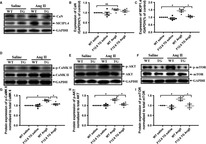 Cardiac‐specific overexpression of FKBP12.6 markedly inhibited AngII‐induced elevation of calcineurin, CaMKII and AKT activities in mice. The expressions of calcineurin (CaN) and MCIP1.4 (a highly sensitive readout for calcineurin activity) were detected by Western blot (A) and quantitatively determined by density analysis (B,C) in hearts from FKBP12.6 TG and WT mice that were subjected to 14 days of AngII or saline infusion. The expressions of the total or phosphorylated proteins including CaMKII, AKT and mTOR were detected by Western blot analysis (D‐F) and the protein expression of p‐CaMKII (G), p‐AKT (H) and p‐mTOR (I) was normalized to total CaMKII, AKT and mTOR in the hearts of the mice. GAPDH expression was used as loading control. The data represent the mean ± SEM, n = 5, * P