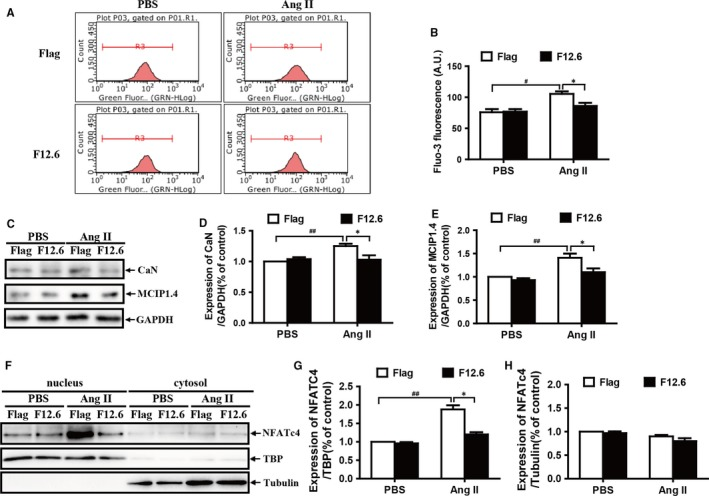 Overexpression of FKBP12.6 significantly reduces the elevation of the intracellular Ca 2+ concentrations ([Ca 2+ ]i) and inhibits the activities of Ca 2+ /calcineurin signalling pathways after AngII stimulation in H9c2 cells. The AngII‐induced elevation of the intracellular Ca 2+ was detected by flow cytometric analysis in FKBP12.6 overexpression (F12.6) and Flag‐control (Flag) H9c2 cells with Fluo3‐AM staining after 20‐min PBS or AngII treatment (A) and quantitatively determined by measuring the mean fluorescence intensity of Fluo‐3 in each group (B). FKBP12.6 overexpressing (F12.6) and Flag‐control (Flag) H9c2 cells were treated with or without 200 nmol/L AngII for 24 h. The expressions of calcineurin (CaN) and MCIP1.4 proteins were detected by Western blot (C) and quantitatively determined by density analysis (D and E), respectively. The NFATc4 protein levels in cytosolic and nuclear fractions were analysed by Western blot (F). TATA‐binding protein (TBP), a nuclear protein marker, and Tubulin, a cytosolic protein marker, were used as an internal control, respectively. The contents of NFATc4 protein in nuclei (G) and cytosole (H) were quantitatively determined by density analysis. The data represent the mean ± SEM from three independent experiments, * P
