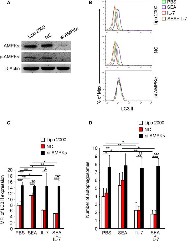 Knock‐down of AMPKα induces macrophage autophagy. Purified PMΦs from normal mice were transfected with pooled siRNAs targeting α‐subunit of AMPK or negative control (NC) siRNA using Lipofectamine 2000 (Lipo 2000) as described in Methods. 48 h later, (A) total AMPKα and phosphorylated AMPKα were detected by Western blotting. Blots shown are representative of three independent experiments. B‐D, cells were treated with PBS, SEA, IL‐7 or SEA plus IL‐7 for another 24 h. B and C, LC3II expression was detected by FCM. B, FCM plots are representative of experiments. C, Data were MFI ± SD of three independent experiments. D, Autophagosomes were detected by TEM. Data were means ± SD of 150 macrophages from three independent experiments. (* P ≤ .05, ** P ≤ .01, *** P ≤ .001)
