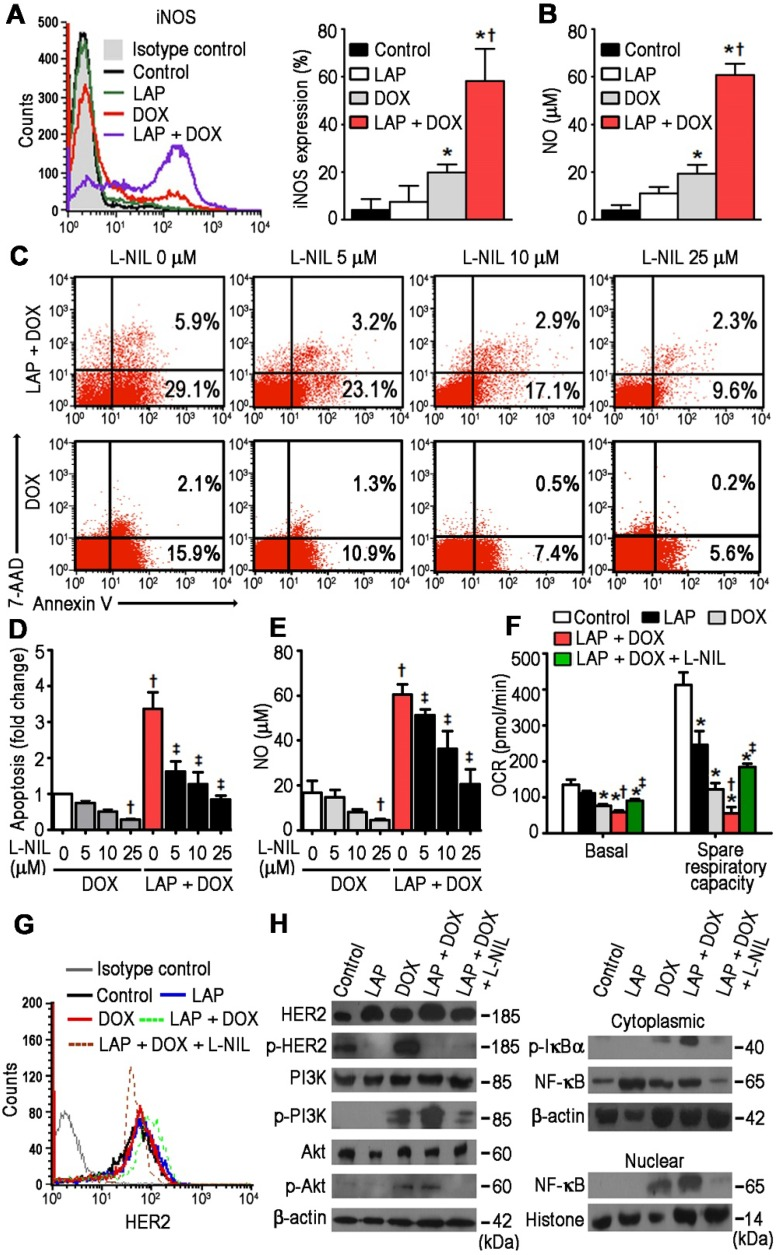 N 6 -(1-iminoethyl)-L-lysine (L-NIL)-mediated inhibition of inducible nitric oxide synthase (iNOS) in <t>hPSC-derived</t> cardiomyocytes decreases <t>LAP-plus-DOX-induced</t> toxicity. (A) Cytoplasmic iNOS protein expression as determined in hiPSC-CMs treated with vehicle (Control), LAP alone (2.5 μM), DOX alone (1.0 μM), or both LAP-plus-DOX. Cells were labeled with anti-iNOS, or an isotype-matched antibody. Percentage of iNOS-expressing cells are displayed as representative flow cytometry histogram plots (left) and quantitative analysis (right). (B) iNOS activity, as a function of total nitric oxide product formation (nitrate + nitrite), was measured using a colorimetric assay. (C) Proportion of viable, apoptotic and necrotic cells, based on flow cytometry analysis of 7-AAD and Annexin V co-labeling. (D) Quantification of fold changes in apoptosis upon L-NIL co-administration. (E) Quantification of L-NIL-mediated iNOS inhibition based on total nitric oxide product formation. (F) Mitochondrial function of hiPSC-CMs cultured in each experimental group. Oxygen consumption rate (OCR) of hiPSC-CMs demonstrating basal OCR and spare OCR respiratory capacity measured after consecutive addition of oligomycin, FCCP, and antimycin. (G) Flow cytometry analysis of HER2 expression in hiPSC-CMs. (H) Effects of L-NIL on LAP-plus-DOX-induced HER2 activity, PI3K/Akt activation, IκBα phosphorylation, and nuclear translocation of NF-κB p65 subunit. All data are presented as mean ± SD (n≥3). * P