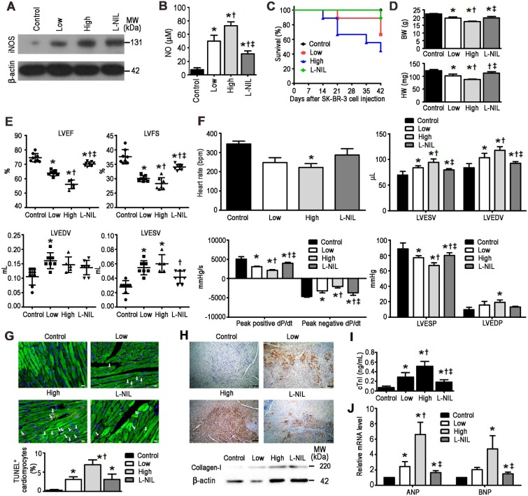 L-NIL-mediated iNOS inhibition alleviates LAP-plus-DOX-induced cardiotoxicity in a murine SK-BR-3 breast cancer xenograft model . (A) Immunoblots indicating iNOS and (B) NO levels in the myocardium. Cardiotoxicity was evaluated by (C) animal survival rate, (D) body weight and heart weight, (E) echocardiography, (F) catheter-derived hemodynamic measurements, (G) TUNEL-expressing cTnI + cells (white arrows), (H) collagen I expression, (I) plasma levels of cTnI, and (J) gene expression of stress markers. Scale bars indicate 10 μm in (G) and 50 μm in (H), respectively. Control = vehicle; Low = low dose of LAP (5 mg/kg) + DOX (5 mg/kg); High = high dose of LAP (10 mg/kg) + DOX (10 mg/kg); L-NIL = high dose of LAP + DOX + L-NIL (10 mg/kg). LVEF: left-ventricular ejection fraction; LVFS: left ventricular fractional shortening; LVEDV: left ventricular end-diastolic volume; LVESV: left ventricular end-systolic volume; LVESP: left ventricular end-systolic pressure; LVEDP: left ventricular end-diastolic pressure; ANP: atrial natriuretic peptide; BNP: brain natriuretic peptide. All data are presented as mean ± SD (n≥4). * P