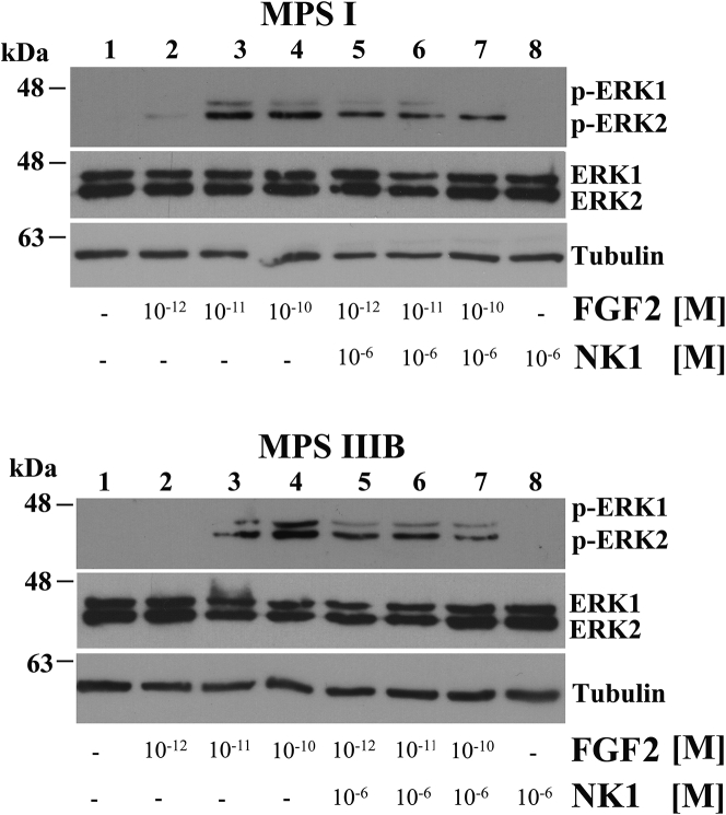 NK1 Treatment Restores FGF2 Activity in Fibroblasts from MPS I- and MPS IIIB-Affected Patients Titration of FGF receptor activation was performed by stimulating for 10 min starved MPS I and MPS IIIB fibroblasts with increasing doses of FGF2, both in the absence and in the presence of 10 −6 M NK1, and evaluating the phosphorylation levels of ERK1/2 by western blotting. The upper blots were stripped and re-probed with anti-ERK1/2 antibody. Anti-γ-tubulin antibody was used to ensure equal loading of proteins in all lanes. The blots reported are representative of three independent experiments of equal design.