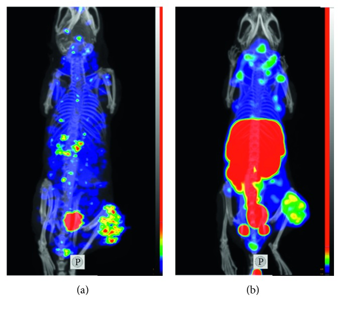 Imaging of HER2 expression in SKOV-3 xenografts (maximum intensity projection) using [ 125 I]I-DARPin 9_29 (a) and [ 99m Tc]Tc(CO) 3 -DARPin 9_29 (b). Small-animal SPECT/CT imaging was performed at 6 h after injection.