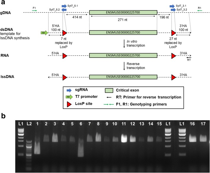 Generation of a Syt7 floxed allele. a Diagrammatic representation of the genomic sequence with the Syt7 critical exon highlighted, the corresponding template for lssDNA synthesis and the position of sgRNAs for in vivo delivery together with the primer locations used for reverse transcription and for genotyping. Note loxP sites in the lssDNA prevent reprocessing of repaired alleles by CRISPR-Cas9 complex. Diagram shows the process for the generation of lssDNA through in vitro transcription and reverse transcription. HA homology arm. b PCR products amplified from genomic DNA extracted from the 17 F 0 born from the microinjection session using Syt7-F1 and Syt7-R1 primers. L1 = 1 kb DNA molecular weight ladder (thick band is 3 kb). L2 = 100 bp DNA molecular weight ladder (thick bands are 1000 and 500 bp). Sequence trace data derived from animals Syt7-4 and Syt7-8 are displayed in Additional file 2 : Figure S1.