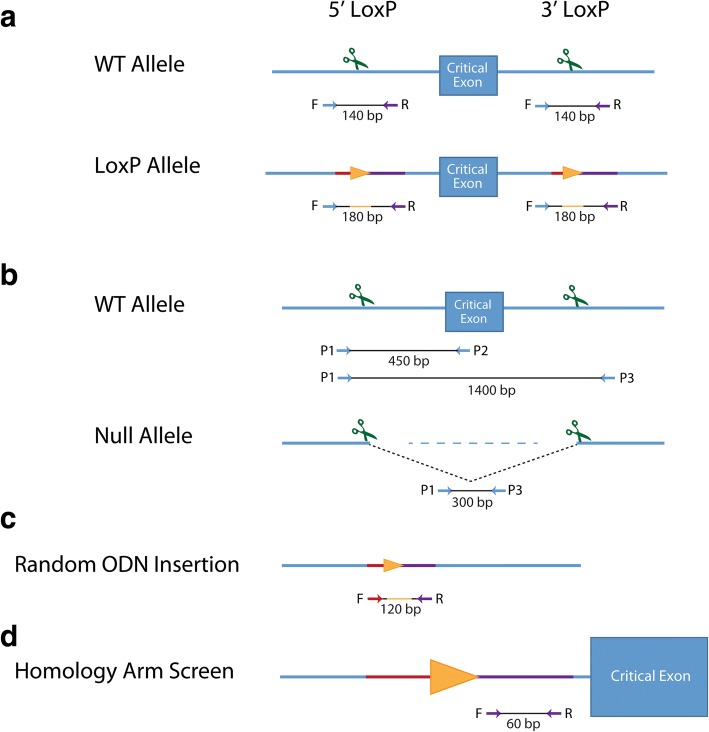 Screening strategies for HDR and NHEJ alleles, and random ODN insertion. Relative positions of the primers and approximate sizes of PCR products are listed below each allele. Scissors represent target sites. a Genotyping schemes for detecting loxP donor sequences. Orange triangles represent loxP sites, with representative homology sequence color coded on blue DNA strand. b Genotyping for NHEJ events utilizes a three-primer system, with P1 being shared between P2 and P3. Primers P1 and P3 reside between 100 to 200 bp outside of the target site (an average deletion product size is depicted). The P1 + P3 primer pair may not always amplify a wild-type product, if the target sequences are too far apart. 1400 bp represents the average distance between loxP insertion sites. c Random ODN insertion PCR primers reside internal to homology arm sequence, and will amplify the expected size product if the ssODN donor has been incorporated elsewhere in the genome, away from the critical exon, in addition to the on-target locus. d Primers for the homology arm screen were used in a SYBR-green quantitative PCR reaction from DNA samples from the N1 generation, using β-actin as a two-copy normalization control