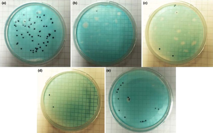 Photographs of the coliform colonies obtained from defined volume samples of 50 CFU /ml density ATCC 11775 strain Escherichia coli diluted suspension solutions with 10 −3 mol/L NaCl, with and without LaCl 3 , following membrane filtration process, and then 24 hr of incubation at 37°C with m‐ColiBlue24 broth. (a) 1 ml of the suspension solution without LaCl 3 (b) 1 ml of the suspension solution with 10 −5 mol/L LaCl 3 (c) 100 ml of the suspension solution with 10 −5 mol/L LaCl 3 (d) 1 ml of the suspension solution with 10 −6 mol/L LaCl 3 (e) 100 ml of the suspension solution with 10 −6 mol/L LaCl 3
