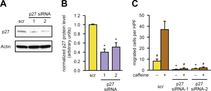 "p27 is required for endothelial cell migration. (A, B) p27 was knocked down in endothelial cells by transfection with 2 different siRNAs targeting the p27 mRNA (""p27 siRNA-1,"" ""p27 siRNA-2"") or a scrambled siRNA (""scr"") as control, and p27 levels were determined by immunoblot. (A) Representative immunoblots, Actin served as loading control. (B) Knockdown efficiency was determined by semiquantitative analysis of immunoblots. Data are mean ± SEM, n = 5, * p"