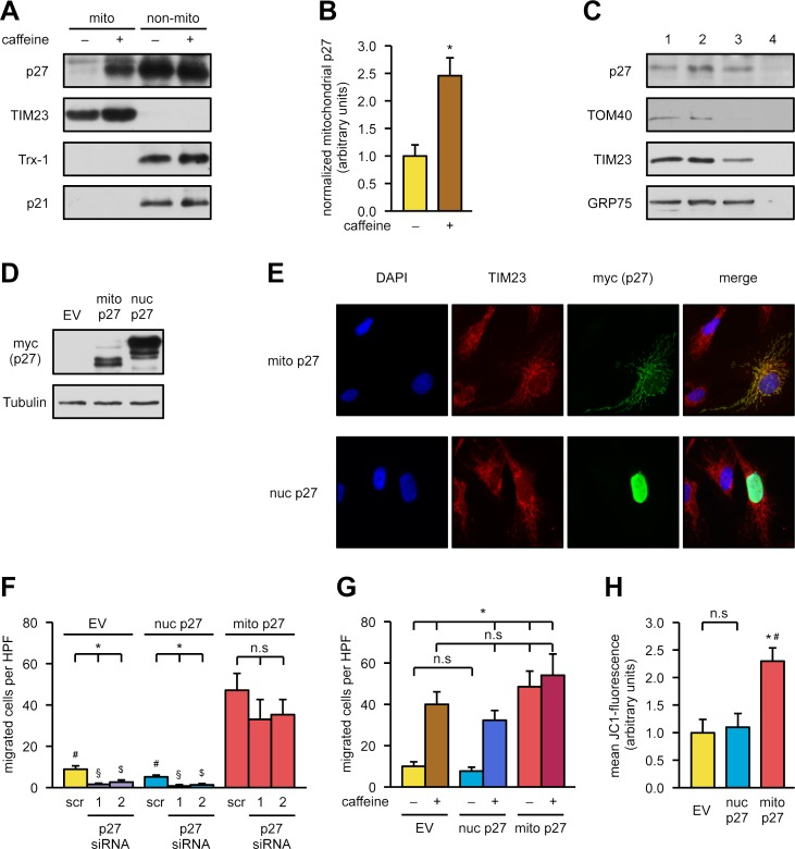 "Mitochondrial <t>p27</t> is sufficient to induce endothelial cell migration. (A, B) Endothelial cells were treated with 50 μM caffeine for 18 hours, and mitochondrial (""mito"") and nonmitochondrial (""non-mito"") fractions were separated. p27 and the closely related p21 protein were detected by immunoblot; TIM23 and Trx-1 served as purity controls for the fractions. (A) Representative immunoblots. (B) Semiquantitative analysis of mitochondrial p27 normalized to TIM23. Data are mean ± SEM, n = 6, * p"