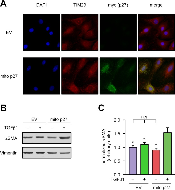 "Mitochondrial p27 restores the impaired αSMA up-regulation in p27-deficient cardiac fibroblasts. Fibroblasts isolated from the hearts of p27-deficient mice were lentivirally transduced with an expression vector for mitochondrially targeted p27 (""mito p27"") or a corresponding empty vector (""EV""). (A) Representative immunostainings: nuclei were visualized with DAPI (blue), mitochondria by staining for TIM23 (red), and the mitochondrially targeted p27 by staining for the myc epitope (""myc (p27),"" green). Merge shows an overlay of all fluorescence channels. (B, C) Myofibroblast differentiation was induced by treatment with 2 ng/ml TGFβ1 for 48 hours, and αSMA was detected by immunoblot. (B) Representative immunoblots, Vimentin served as loading control. (C) Semiquantitative analysis of αSMA normalized to Vimentin. Data are mean ± SEM, n = 5, * p"