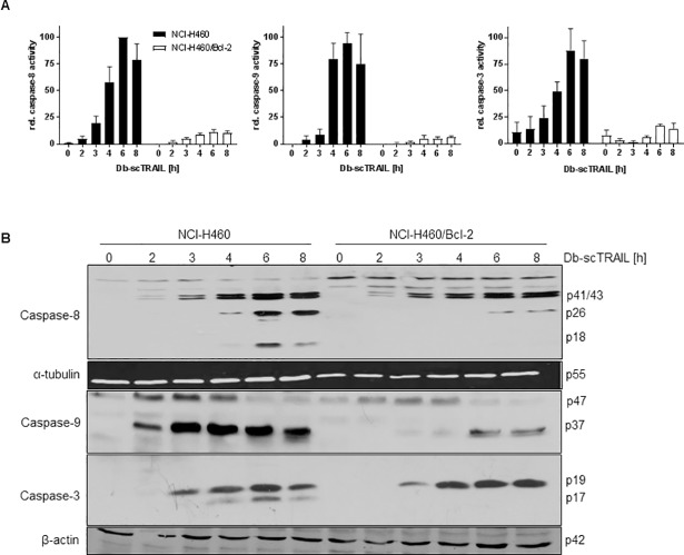 Bcl-2 overexpression strongly inhibits caspase activity but affects caspase cleavage preferentially at late activation steps. (A) Cells were stimulated with Db-scTRAIL (1 nM) for the indicated time periods. Whole protein lysates were incubated with fluorogenic caspase substrates Ac-IEPD-AMC (caspase-8), Ac-DMQD-AMC (caspase-3) and Ac-LEHD-AMC (caspase-9), respectively. Increasing fluorescence values were measured every 2 min for 2 h at λ = 460 nm. Data points shown, representing slopes, are mean values ± SD calculated from 3 independent experiments, normalized to the highest value of each experiment. (B) Cells were stimulated with Db-scTRAIL (1 nM) up to 8 h, one group was left untreated as a control. Equal amounts of whole cell lysates were subjected to immunoblot analysis using antibodies specific for cleaved caspase-8, cleaved caspase-3 and caspase-9 followed by HRP-conjugated secondary antibody.