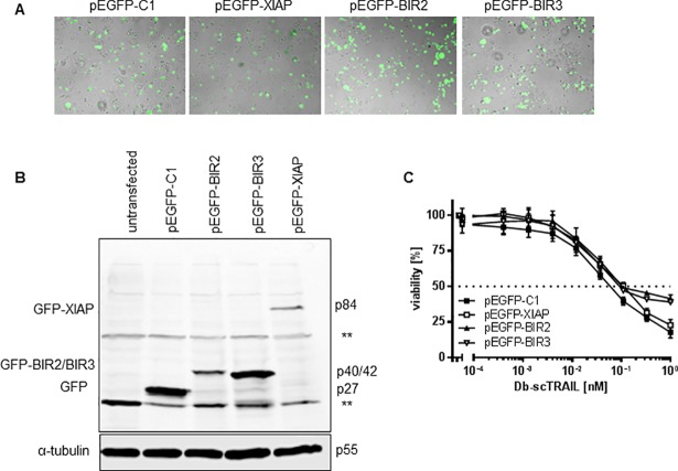 Overexpression of XIAP or XIAP subdomains hardly affect TRAIL sensitivity. (A) and (B) Transient transfection of XIAP and XIAP-derived BIR domains. NCI-H460 cells were transiently transfected with empty vector (pEGFP-C1) as a control or vectors encoding full length XIAP or the respective BIR2 and BIR3 domain. Transfection efficiency was checked by visualizing the GFP signal microscopically after 24 h (A). Whole cell lysates were run on a SDS-PAGE and immunoblot analysis was performed (B) using anti-GFP antibody. (C) Cells from (A) were stimulated with serial dilutions of Db-scTRAIL for 24 h. Viable cells were stained with crystal violet and the absorbance was determined at 550 nm. Cells transfected with pEGFP-C1 were used as control. Shown are mean values ± SD calculated from triplicates. One representative experiment out of three is shown.