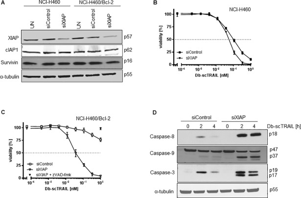 XIAP downregulation restores TRAIL sensitivity in Bcl-2 overexpressing cells. (A) Downregulation of XIAP by siRNA treatment. Cells were left untreated (UT) or were transiently transfected with non-targeting (siControl) or siRNA specific for XIAP (siXIAP). Protein expression was determined 48 h post transfection from whole cell lysates via immunoblot assay using an XIAP specific antibody. As control c-IAP1 and survivin were included. (B) and (C) NCI-H460 wild type (B) and NCI-H460/Bcl-2 cells (C) had been pretreated as in (A) were treated with serial dilutions of Db-scTRAIL (open symbols). NCI-H460/Bcl-2 cells transfected with siXIAP were incubated with 50 μM z-VAD-fmk and 1 nM Db-scTRAIL (filled triangle). After 24 h viable cells were stained with crystal violet. All values were normalized to those from unstimulated cells. The experiment was performed in triplicates and the data shown are representative of three independent experiments. (D) NCI-H460/Bcl-2 cells had been pretreated as in (A) were treated with Db-scTRAIL (1 nM) for 2 and 4 h and analyzed by immunoblotting using antibodies for cleaved caspase-8, -9 and -3. Tubulin-α was used as loading control. Blot shown is representative of three independent experiments.