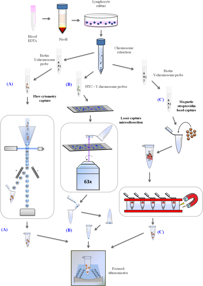 Overview of the three technologies used in this study (flow cytometry capture, laser capture microdissection, magnetic streptavidin-bead capture). For all three processes, human lymphocytes were cultured overnight, then phytohaemagglutinin (PHA) and colcemid were added to achieve a high mitotic index and accumulation of cells in metaphase. Later, metaphase chromosomes were extracted from the lymphocytes. ( A ) For flow cytometry capture, the extracted chromosomes were incubated with a specific biotin Y chromosome probe and stained with streptavidin-PE and DAPI. Y chromosomes were then sorted in a FACSAria flow cytometer. The sorted chromosomes were collected in Eppendorf (Hamburg, Germany) tubes in ddH 2 O (double-distilled water) for further processing. ( B ) For laser capture microdissection, individual chromosomes were hybridized with Y chromosome-specific probes conjugated with FITC (green), counterstained with DAPI (blue) and mounted on slides covered by polyethylene membranes. On these slides, they were selected and catapulted by the laser pressure catapulting (LPC) function in a Zeiss PALM MicroBeam IV Laser Microdissector. Y chromosomes were captured within the cap and dissolved in TE buffer. The cap was closed and the sample was spun down by centrifugation. ( C ) For magnetic streptavidin-bead capture, chromosomes were incubated with a specific biotin Y chromosome probe as in the previous procedure. Dynabeads MyOne streptavidin beads were added to the probe Y chromosome mixture and magnetic separation was performed to capture the Y chromosome on a magnetic rack. Finally, in all cases, physical fragmentation was performed before library prep and sequencing with a Covaris S2 sonicator.