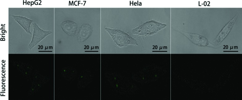 Evaluation of NAMAs self-assembled on GONPs for target miR-21 imaging in single cells (HepG2, <t>MCF-7</t> cells, <t>Hela</t> and L-02 cells).